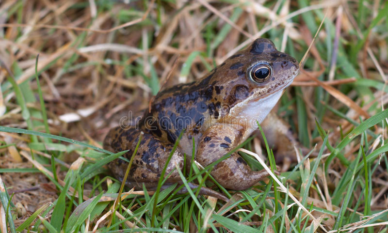 Common Frog royalty free stock images