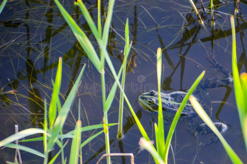 The common frog Rana temporaria mating, also known as the European common frog, European common brown  frog, or European grass f royalty free stock image