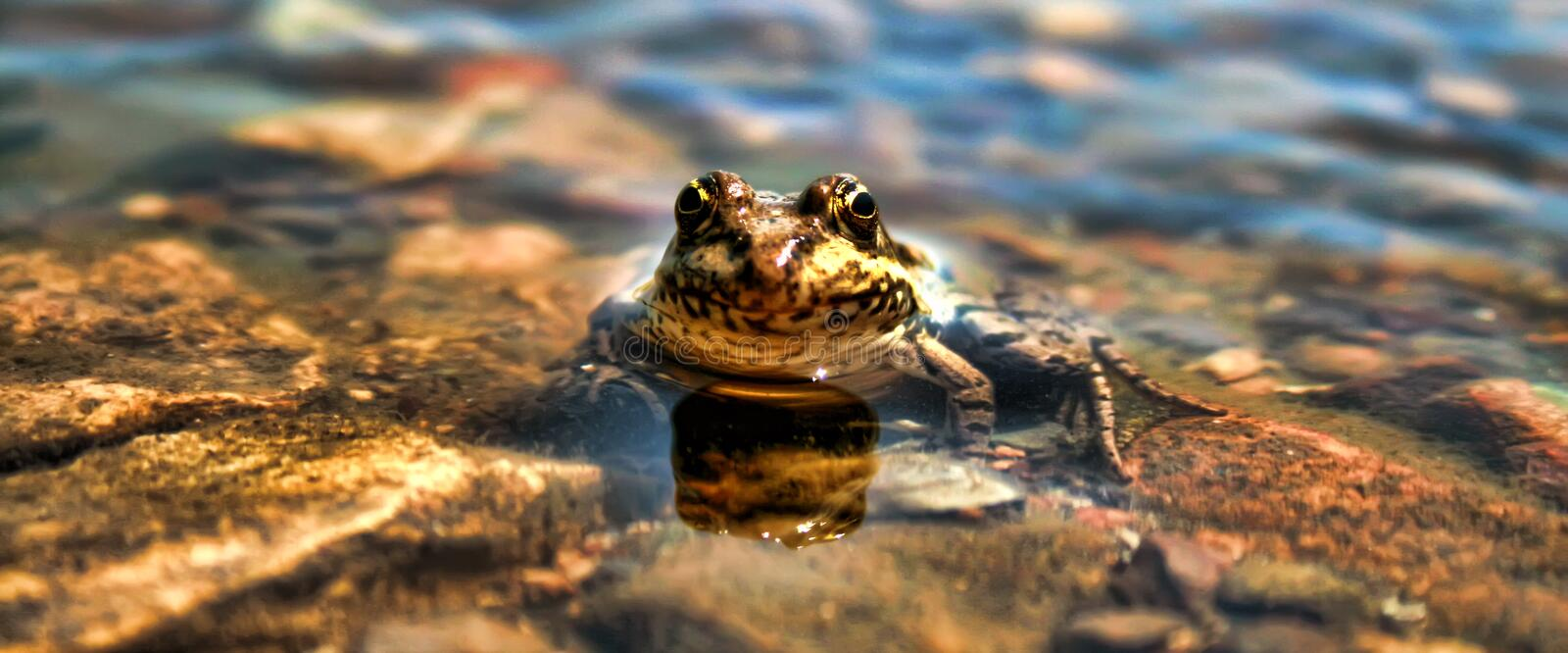 Common Frog Submerged Low Angle. Submerged Frog Staring Straight Into The Camera royalty free stock images