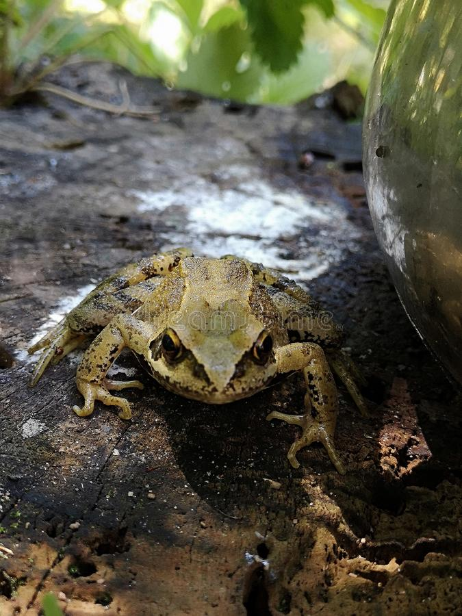 Common frog on a tree stump. Rana temporaria in garden. stock photography