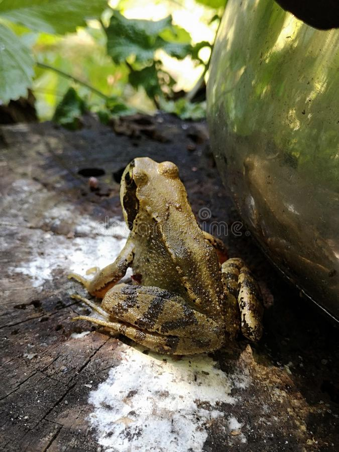 Common frog on a tree stump. Rana temporaria in garden royalty free stock images
