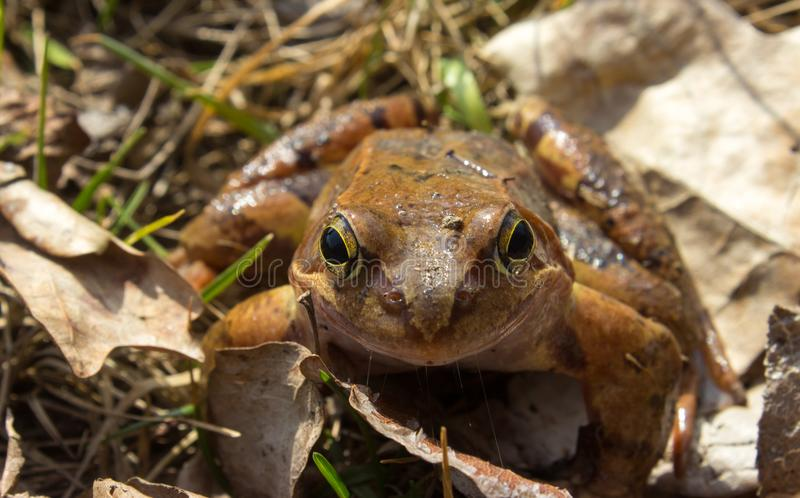 Common frog in the wild on the dry leaves stock photography