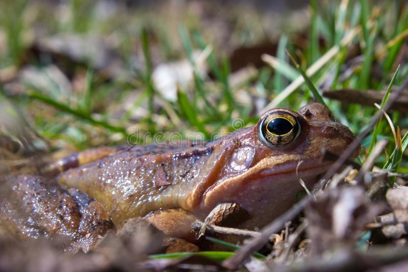 Common frog in the wild on the dry leaves in grass stock photo