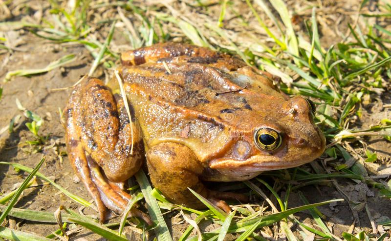 Common frog in the wild in the grass stock images