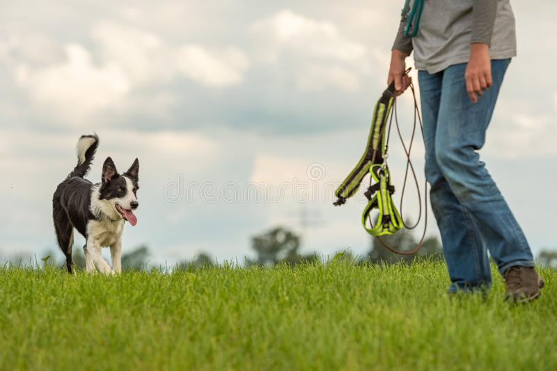 Common game with a cute obedient dog - Border Collie and dog owner. Common game with an obedient dog - Border Collie and dog owner royalty free stock photography