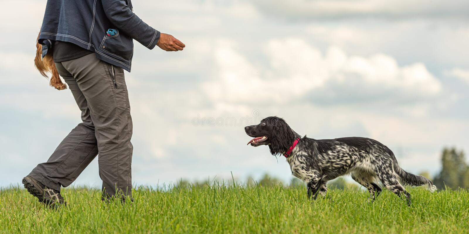Common game with a cute obedient dog. Cocker Spaniel and dog owner. Common game with an obedient dog. Cocker Spaniel and dog owner royalty free stock image