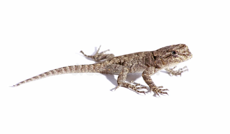 Download Common Garden Lizard Isolated On White Stock Image   Image Of  White, Agama: