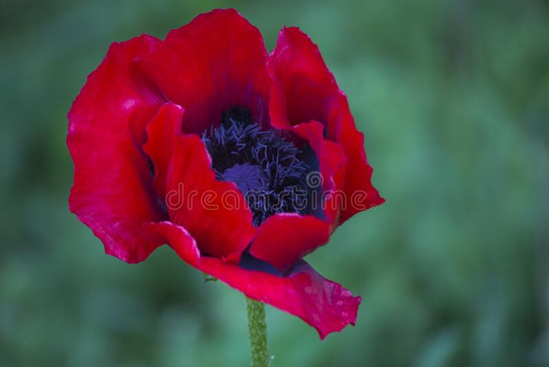 Common garden poppy royalty free stock photo