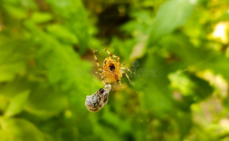 Common garden spider and wasp hunted royalty free stock photos