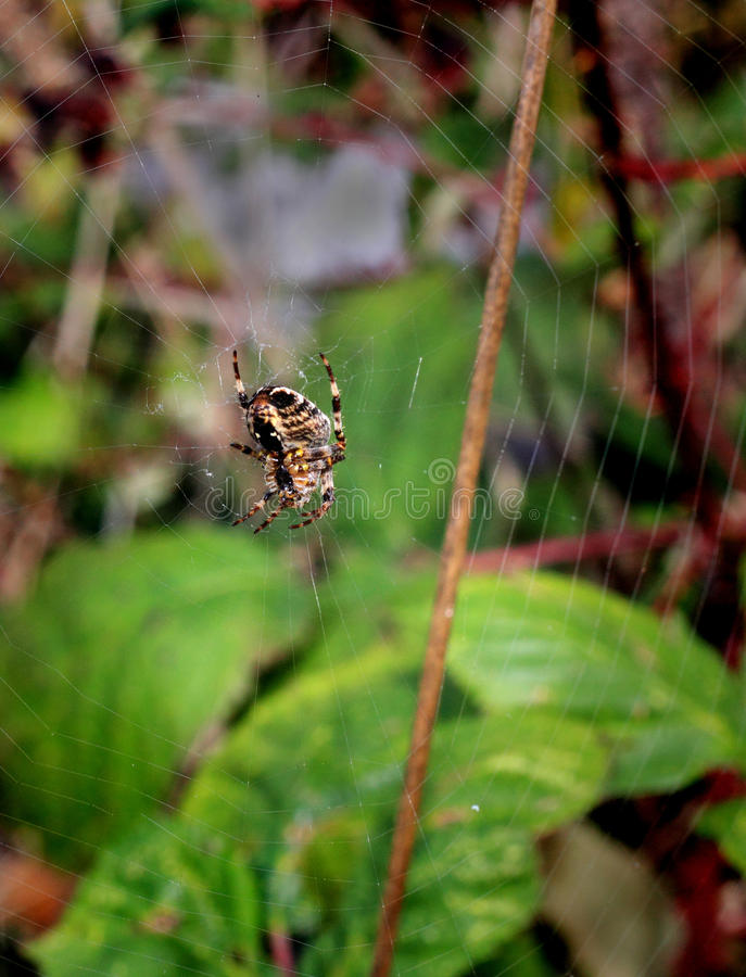Common garden spider royalty free stock images