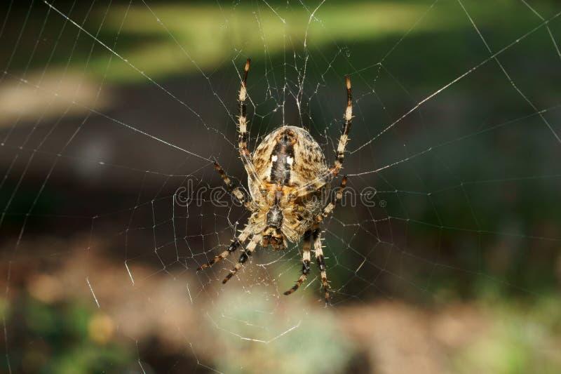 Common Garden Spider royalty free stock photo