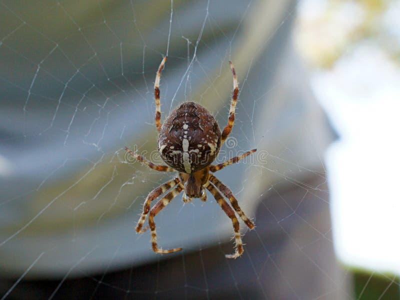 Common Garden Spider stock image