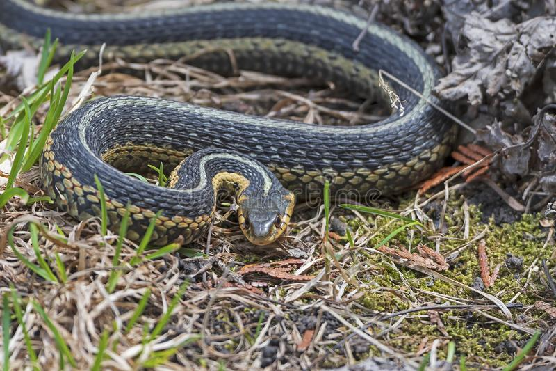Common Garter Snake in an Agressive Pose. Along the Bridalveil falls trail in Kagawong, Ontario on Manitoulin Island royalty free stock photography