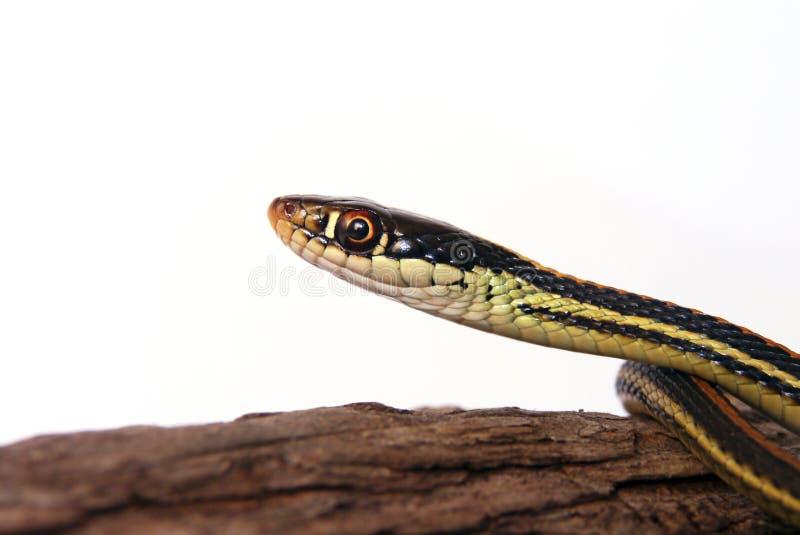 Common Garter Snake. Portrait against white background stock photography