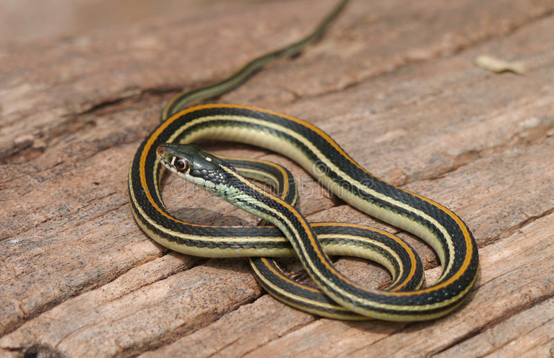 Common Garter Snake. The Common Garter Snake (Thamnophis sirtalis) is an indigenous North American snake found widely across the continent. Most garter snakes royalty free stock images