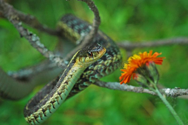 Common Gartersnake royalty free stock images