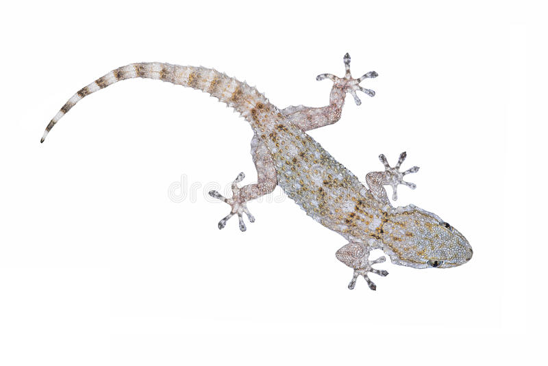 Download Common Gecko stock image. Image of reptile, specimen - 25079841