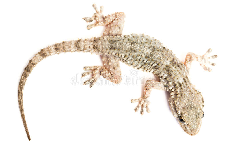 Common gecko. Detail of a common gecko stock photo