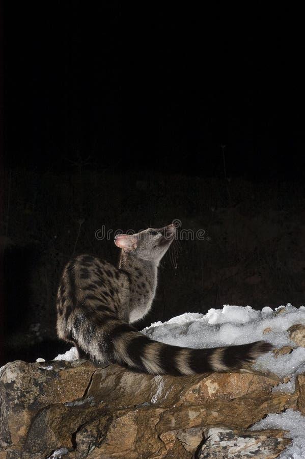 Common genet - Genetta genetta, Spain, with snow stock photos