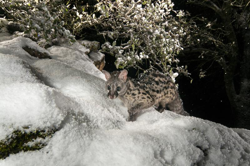 Common genet - Genetta genetta, walking on a rock with snow stock photos
