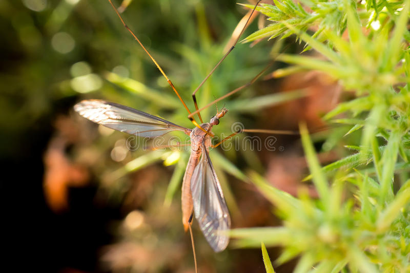 Common giant mosquito royalty free stock image
