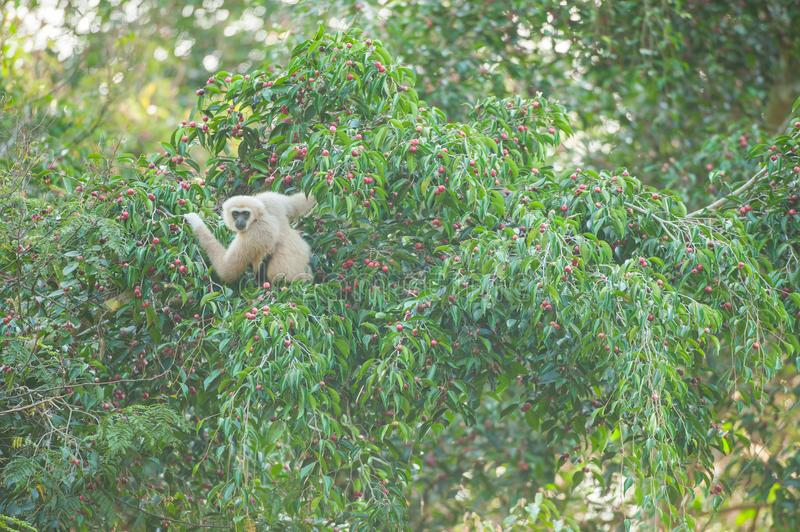Common Gibbon on the fig tree. royalty free stock image