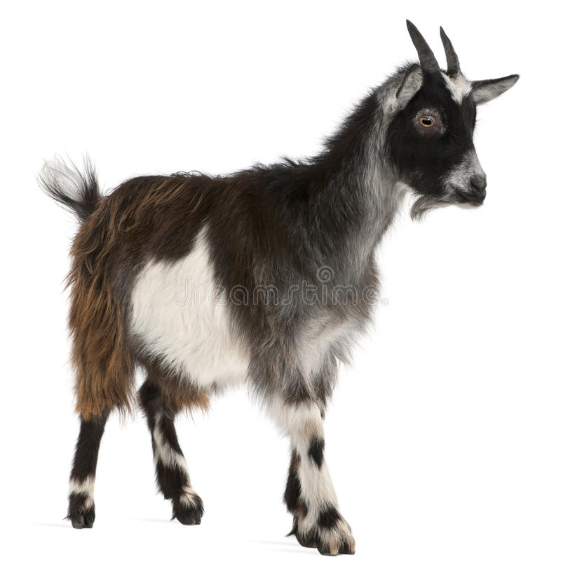 Common Goat from the West of France stock photo