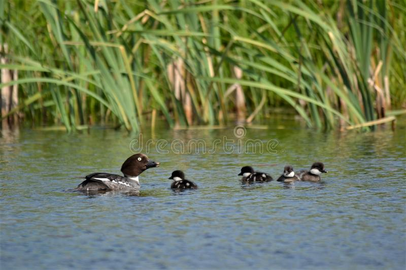 Common Goldeneye on a pond with four sons. royalty free stock photos