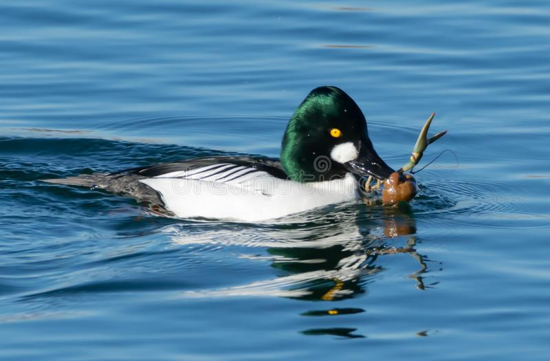 Common Goldeneye catching a crayfish stock image