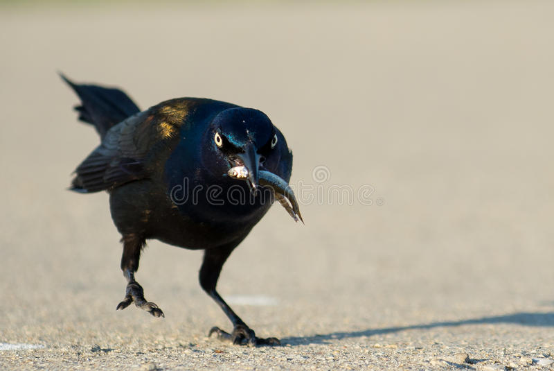 Common Grackle Bird royalty free stock photos