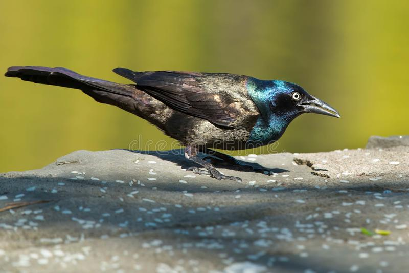 Download Common Grackle stock image. Image of environmental, birdwatching - 116793037
