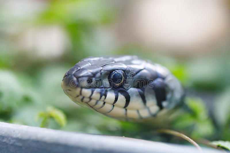 Grass snake Natrix natrix close up royalty free stock images