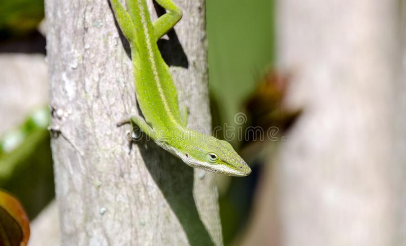 Green Anole lizard, Georgia USA royalty free stock images
