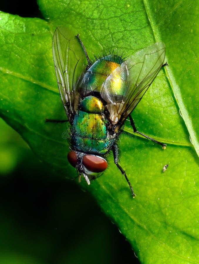 Green bottle fly on leaf in urban garden. stock images