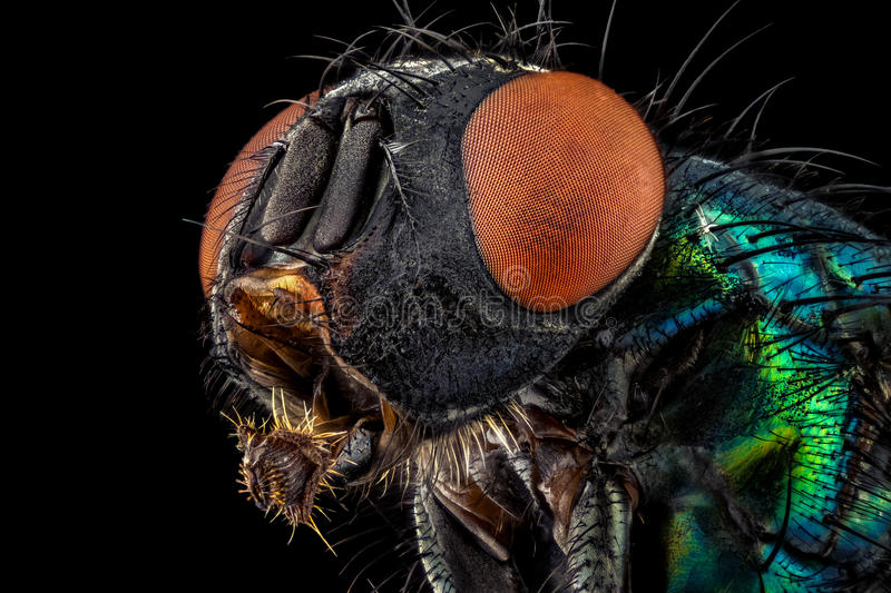 Common green bottle fly stock image