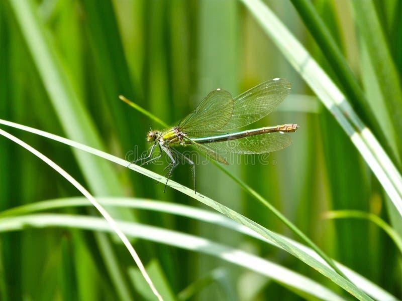 Common Green Darner Free Public Domain Cc0 Image
