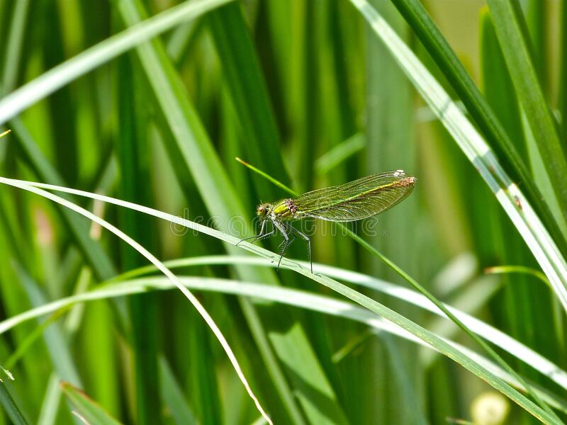 Common Green Darner stock photo
