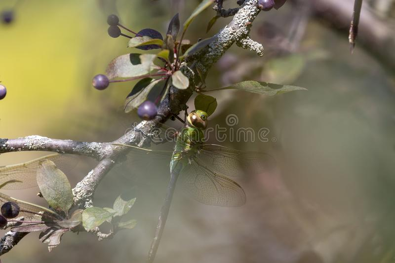 Common Green Darner Anax junius on the branch tree. Dragonfly - Common Green Darner on shore lake Michigan stock images