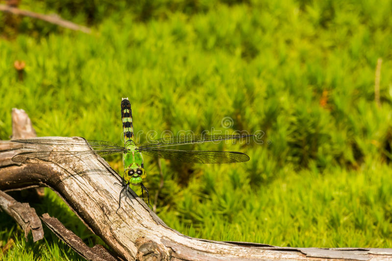 Common Green Darner. A close up of a female Common Green Darner royalty free stock images