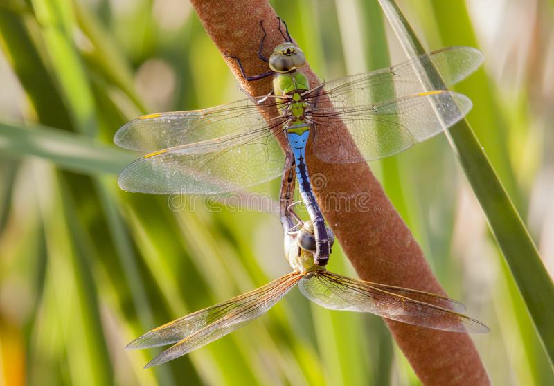 Common green darner dragonfly pair mating. Pair of common green darner dragonflies mating on a cattail in Tres Rios Wetlands in Phoenix, Arizona royalty free stock images