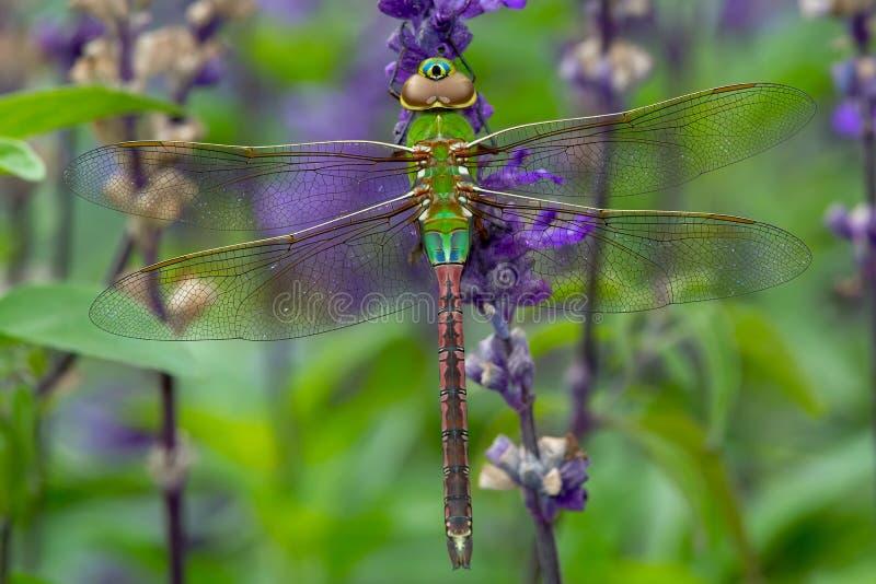 Common Green Darner Dragonfly - Anax junius. Female Common Green Darner Dragonfly perched on a purple flower. Rosetta McClain Gardens, Toronto, Ontario, Canada royalty free stock photography