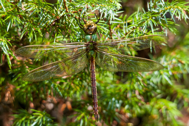 Common Green Darner. Hanging on a bush royalty free stock photography