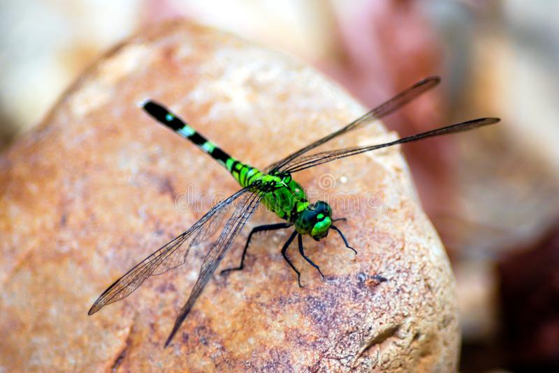 Common Green Darner perched on rock. A closeup photo of a common green darner on tan colored rock stock photography
