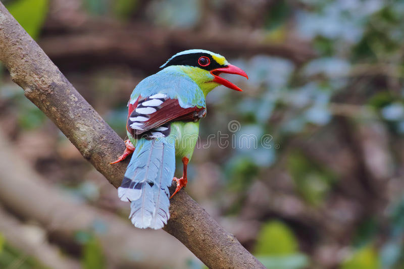 Common green magpie Cissa chinensis birds of thailand stock photography