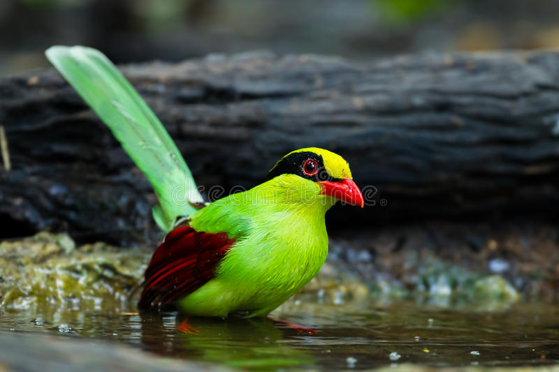 Common green magpie royalty free stock photo