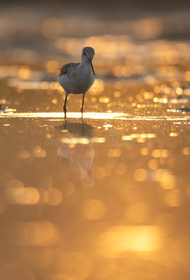 Common green Shank at Sunrise royalty free stock photography