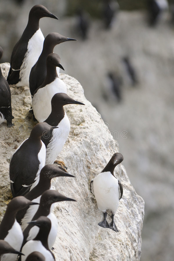 Free Common Guillemot Royalty Free Stock Photos - 5400598