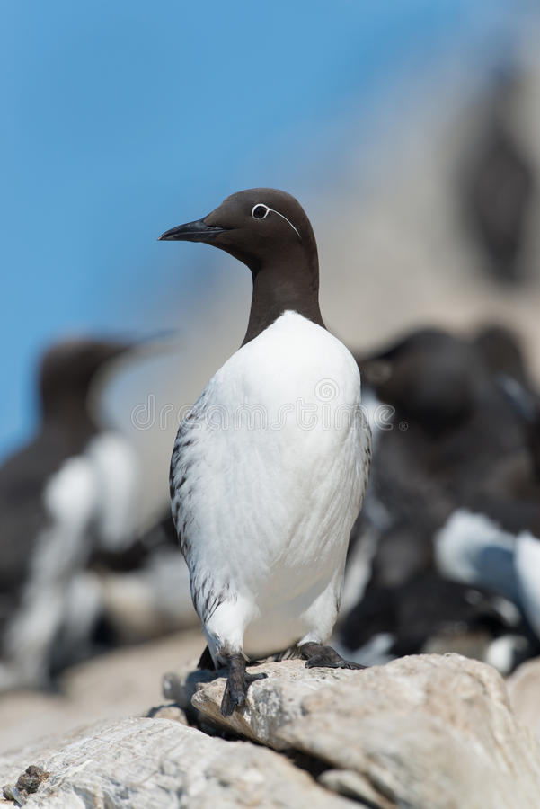 Download Common Guillemot stock photo. Image of animal, bird, common - 34186796