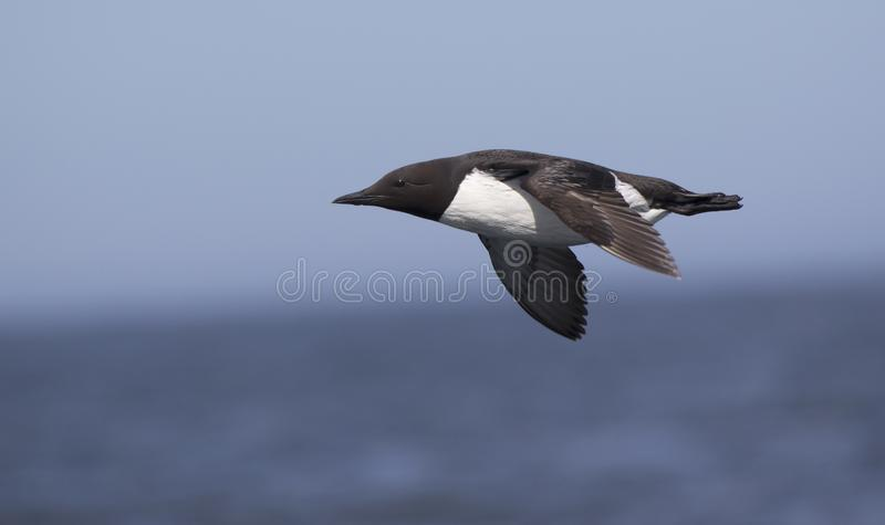 Common guillemot which flies against the backdrop of rocky coast stock photo
