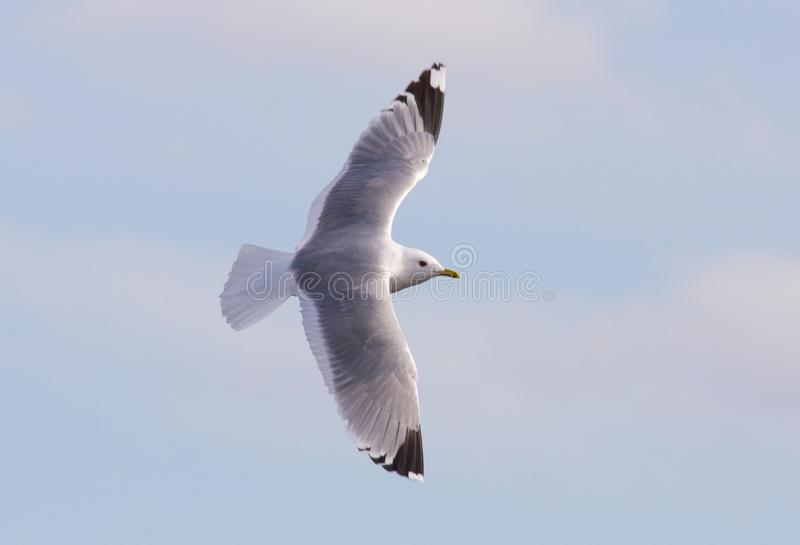 Common Gull royalty free stock photography